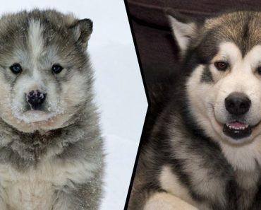 20 aranyos kiskutya, akikből hatalmas farkasok lesznek